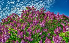 lilac image free for desktop, Wycliffe Allford 2017-03-05