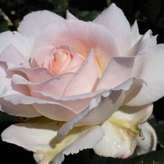 "Cameo Perfume™ - Robert Harkness describes this this continual bloomer soft pink rose with 5"" blooms as ""exquisitely formed and blessed with truly marvelous fragrance.The loosely formed blooms are rounded. Rather less formal than some. A pleasure both in the garden and in the home""."