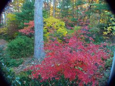 The mountain stewartia has fantastic fall color. Landscape Plans, Cool Plants, Artist At Work, Garden Plants, Landscaping, Mountain, Trees, Fall, Color