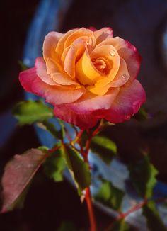 bobbauerflower:  ' Granada Rose'  Outdoor flower photography by Bob BauerShot in my garden. Birdbath is the blue. Granada is the rose variety.