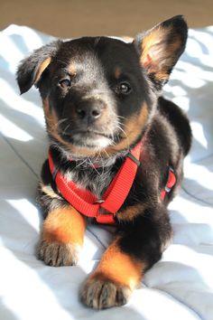 Rotty cross pup