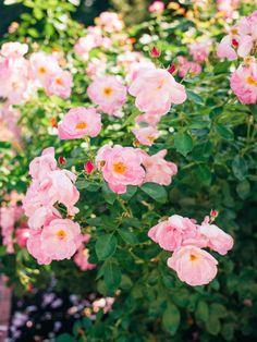 Visiting Portland: Rose Garden | Lucy Cuneo Photo