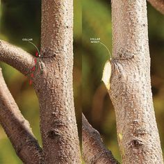 Cut a Branch at the Collar - Bush Pruning Tips for Healthier Bushes: http://www.familyhandyman.com/landscaping/bush-pruning-tips-for-healthier-bushes#7