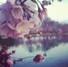 D.C. Cherry Blossoms :)