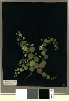 Antirrhinum Spurium, formerly in an album (Vol.I, 67); Round-Fluellin. 1779 Collage of coloured papers, with bodycolour and watercolour, on black ink background, Mary Delany (1700-1788)