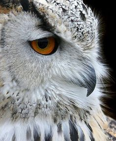 The winter owl banked just in time to passAnd save herself from breaking window glass.~Robert Frost