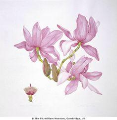 Margaret Stones, English botanical artist