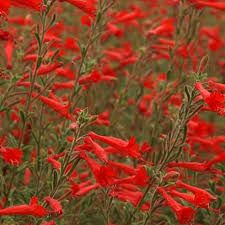 """Résultat de recherche d'images pour """"zauschneria californica western hills"""""""