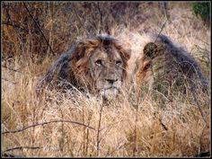 Lions in Kruger Park near Satara restcamp in South Africa Kruger National Park, National Parks, Lions, South Africa, Tours, Travel, Animals, Africa, Voyage