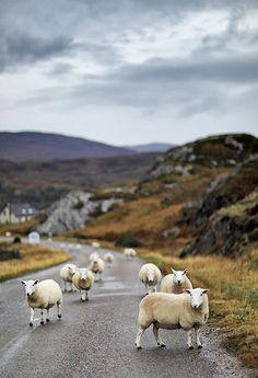 UK, Scotland, Great Britain, Shieldaig, Sheep Blocking The Road In The Northwest Highlands - eStock