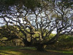 Coast Live Oak (Quercus agrifolia) Good for attracting butterflies and birds, erosion control, and for fire zones.