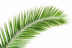 Palm-Tree-Leaves-Stock-04.jpg 2,550×1,700 pixels