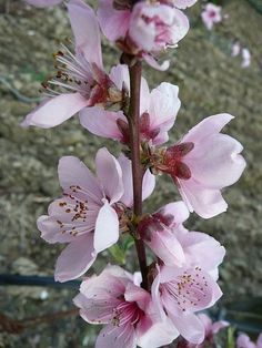 The peach blossom is the state flower of Delaware