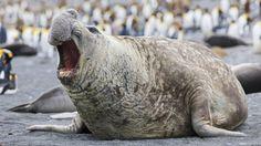 #Den Rhythmus im Blut - Deutschlandfunk: Deutschlandfunk Den Rhythmus im Blut Deutschlandfunk Die Männchen der größten Robbenart der Welt…