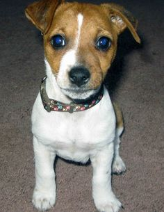 Our Jack Russel puppy