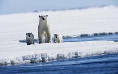 Banco de Imágenes: Bonito fondo para tu pc o laptop de osos polares en la nieve