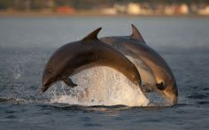 Two bottlenose dolphins (Tursiops truncatus) breaching in evening light, Moray Firth, Inverness-shire, Scotland. Photographer John MacPherson