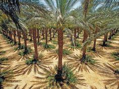 Date Trees in  Northern Israel