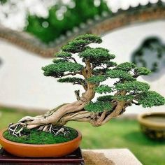 24 artistic bonsai tree ideas to beautify your garden 4 Buy Bonsai Tree, Bonsai Tree Care, Bonsai Tree Types, Mini Bonsai, Indoor Bonsai Tree, Bonsai Plants, Bonsai Garden, Plantas Bonsai, Bonsai For Beginners