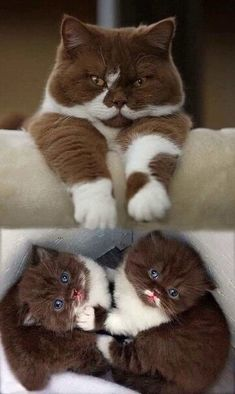 Cute Baby Cats, Cute Little Animals, Cute Funny Animals, Kittens And Puppies, Cute Cats And Kittens, Kittens Cutest, Ragdoll Kittens, Tabby Cats, Funny Kittens