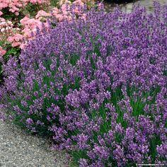 Lavender munstead lavandula angustifolia 16 quot tall x 24 quot wide great
