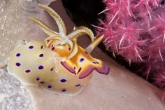 On 4 June 2013 Coral Sea nudibranch enjoys some marine protection.