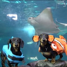 "9,446 Likes, 283 Comments - Crusoe the Celebrity Dachshund (@crusoe_dachshund) on Instagram: """"We made some new PENGUIN friends at @ripleysaquarium last week! Tag a friend who should watch us…"""