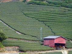 Uji Green Tea Culture   JapanVisitor Japan Travel Guide