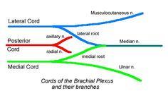nerve supply of the forearm - بحث Google Forearm Anatomy, Plexus Products, Chart, Google