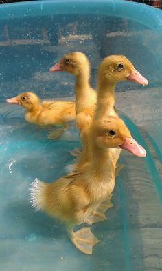 My one week old Indian Runner Ducklings enjoying a swim in their pool