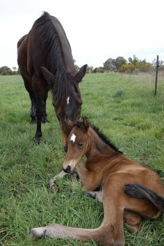 """Rare bloodlines. The Australian Waler mare """"Beeandah Dreamtime"""" with her first foal, a filly, by The Garden Station stallion """"Yarramalong Buster""""."""