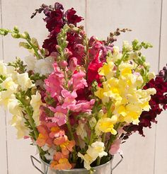 Choose from three bloom types and a profusion of colors. Our snapdragon varieties are selected by our research team for top performance as cut flowers. September Flowers, Outside Plants, Cut Flower Garden, Annual Flowers, Fall Plants, Garden Seeds, Edible Flowers, Spring Flowers, Wedding Flowers