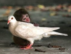 Capuchin monkey and dove bonded as friends.