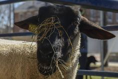 -- Sheep, piglets and a calf were among the animals at activities outside Berkey Creamery. Penn State College, Ag Science, Ag Day, Agricultural Science, Animal Help, Piglets, Sheep, Activities, Animals