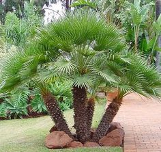 Mediterranean  Fan Palm, Chamaerops humilis 8-10'  tall, tolerates temperatures to 20 degrees (F), drought tolerant, part sun to part shade.