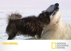 National Geographic Channel, Polar Bear, Fox, Animals, Friends Day, Documentaries, Friendship, People, Animales