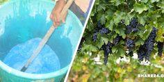 Βορδιγάλειος Πολτός ( Γαλαζόπετρα με ασβέστη) – Πώς να το Φτιάξετε και πώς να το Εφαρμόσετε στο Αμπέλι και σε Άλλες Καλλιέργειες  #χρήσιμα Gardening Tips, Home And Garden, Entertaining, Nature, Flowers, Plants, Homework, Garden Ideas, House
