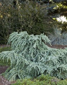 Feelin' Blue Deodar Cedar - 2 to 4 ft. tall, spreading to 6 ft. wide. PURCHASED 2015