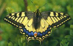 Opgezette vlinders / vlinderkwekerijen