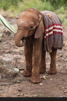 Elephant orphan at David Sheldrick Wildlife Trust