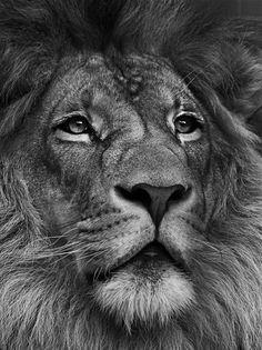 Photograph Lion by Ricardo Zech on 500px