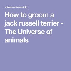 How to groom a jack russell terrier - The Universe of animals