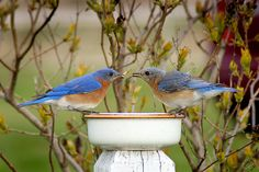 Early Bird Breakfast for Two - photo by Bill Pevlor of PopsDigial.com. #bluebird #worms #birds