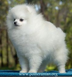 Marvelous Pomeranian Does Your Dog Measure Up and Does It Matter Characteristics. All About Pomeranian Does Your Dog Measure Up and Does It Matter Characteristics. White Pomeranian Puppies, Pomeranian Facts, Pomeranian Breed, Pomeranians, Teacup Puppies, I Love Dogs, Cute Dogs, Puppy Husky, Save A Dog