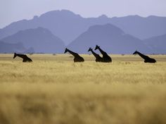 """Want to go: Namibia. (Photograph by Frans Lanting; In 2003, giraffes were reintroduced to NamibRand, a private nature reserve in Namibia that together with conservation-minded regions to the north and south comprises 800 square miles. """"Good rains had come to the desert for three years in a row when we were there,"""" says writer Chris Eckstrom, """"and the normally bare plains were lush with tall grasses.""""  From: """"Your Own Private Africa"""" in the March 2011 issue of National Geographic Traveler.)"""