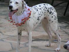 Spotty Dotty on her wedding day.