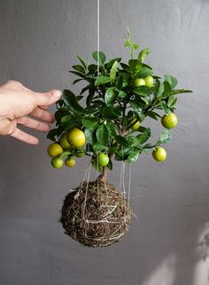 Kokedama Balls! I'm going to try this and see how much they leak all over my floors ;) Here's the tutorial too:  http://www.cutebonsaitree.com/how-to-make-kokedama.html