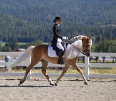 Maximotion WSF - 7 yr old Haflinger Stallion owned by Kim Spann and Wingspann Farm of Oregon is aptly named.