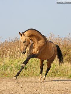 Photos of Akhalteke horses by Ekaterina Druz Equine Photography Kathiyawadi Horse, Horse Love, Horse Art, Palomino, Akhal Teke Horses, Appaloosa, Work Horses, Equine Photography, Horses