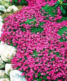 Růžová tařička